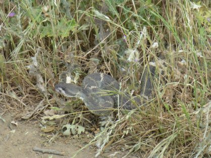 Gopher snake, or rattlesnake? (it wasn't rattling, but it's head did seem pretty diamond shaped)