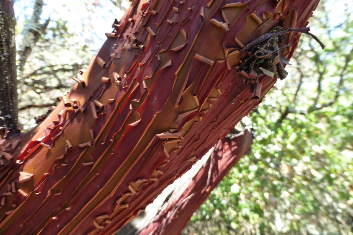 Close up of the manzanita
